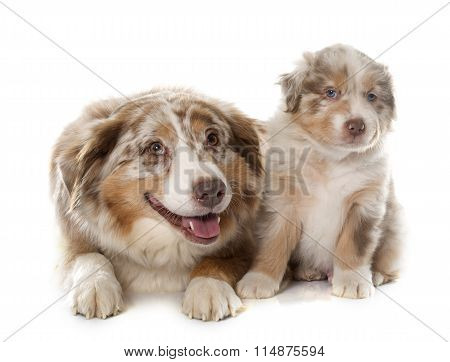 Puppy And Adult Australian Shepherd