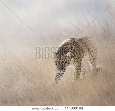 Leopard Walking in The Grass