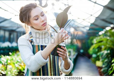 Pretty woman gardener in striped apron standing in greenhouse and taking care of ficus in flower pot
