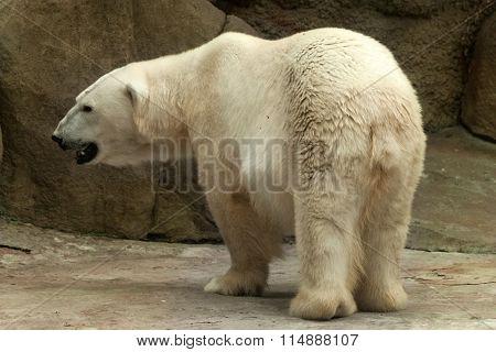 Polar Bear ( Ursus Maritimus )