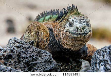 Miling Iguana. The Marine Iguana On The Black Stiffened Lava.