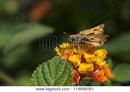 Skipper Butterfly on orange lantana flowers