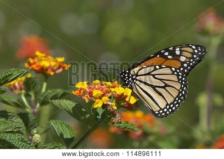 Monarch Butterfly on orange flowers