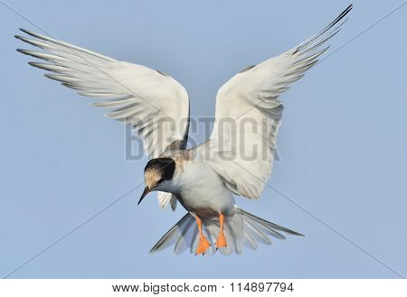 Juvenile  Common Tern In Flight On The Blue Sky Background. Blue Sky Background