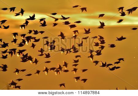 The Common Starling (sturnus Vulgaris) Large Flock Of Birds In The Sky Form An Abstract Pattern