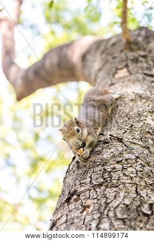 Squirrel Clinging And Eating Nuts
