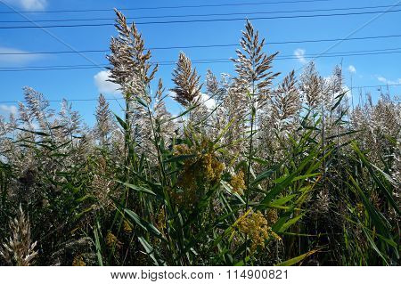 Common Reeds and Goldenrod Flowers