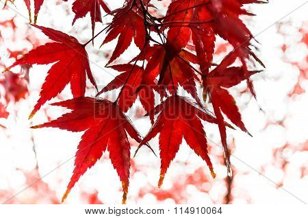 Wet Red Maple Leaves In Rainy Day In Autumn With Bokeh, Japan