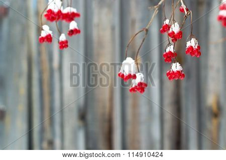 A Bunch Of Red Viburnum Berries In Winter On A Wooden Background .