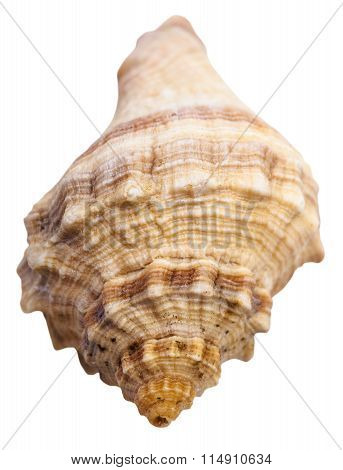 Spiral Shell Of Sea Mollusc Snail Isolated
