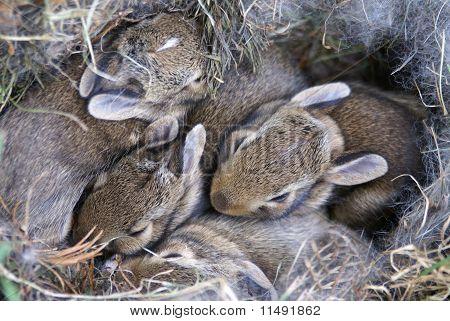 Conejitos bebé acurrucados en su nido