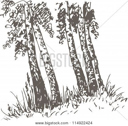 birch trunks and grass