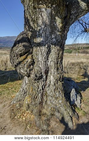 Venerable birch tree with interesting trung in the Plana mountain