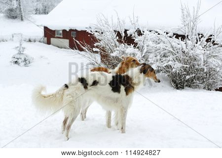 two giant Borzoi sight-hounds, winter and snow