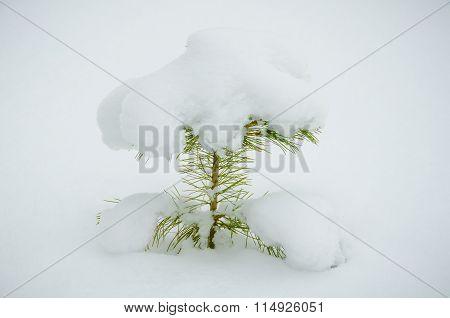Cedar Sapling In The Winter.