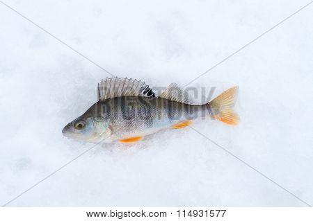 fish perch closeup lying on snow