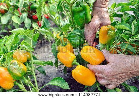Farmer Harvests Ripe Peppers