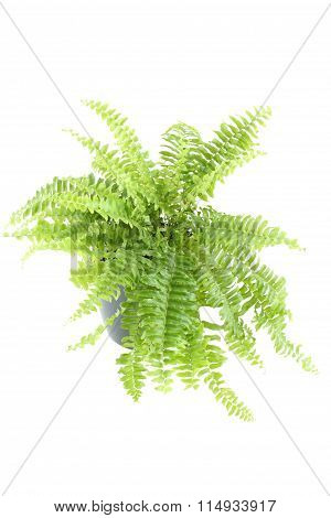 Nephrolepis fern indoor plant