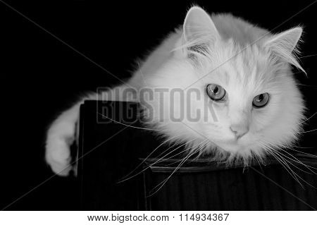 White cat on a wardrobe