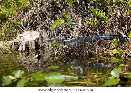 Alligator Resting In The Swamp