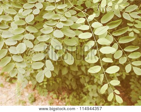 Retro Looking Acacia Leaf