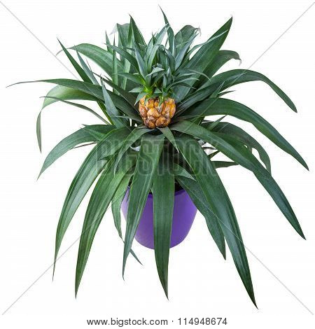 Pineapple In Pot Isolated On White Background