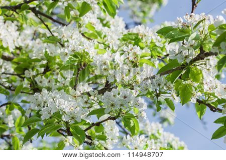 Pear Tree Blossom In Spring