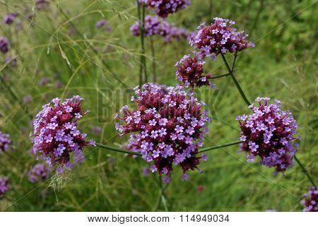 Purple Verbena flowers