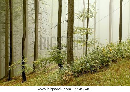 Autumn beech forest in the fog