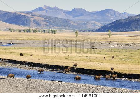 Bison in landscape