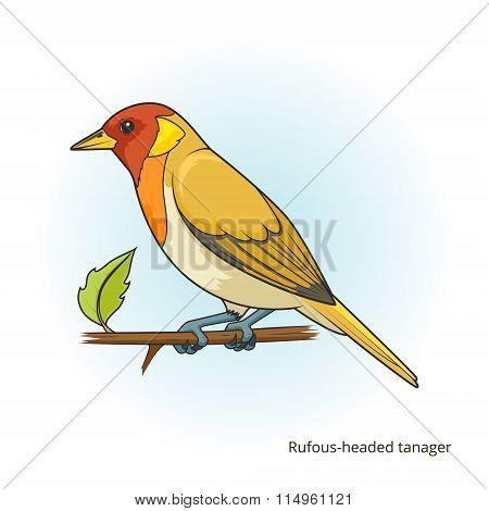 Rufous headed tanager bird vector