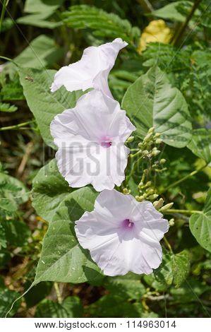 Bush Morning Glory flower in garden