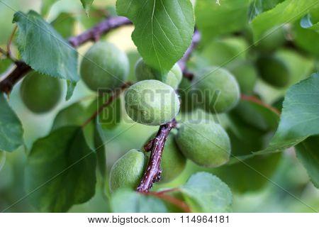 Green Apricot Branch