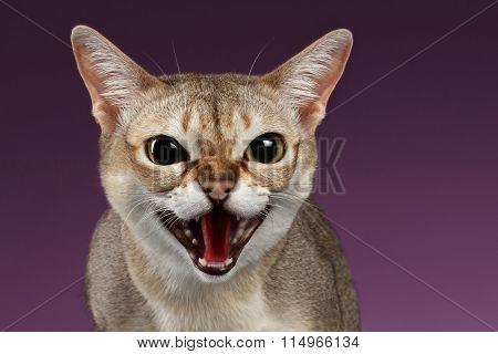 Closeup Aggressive Singapura Cat Hisses On Purple