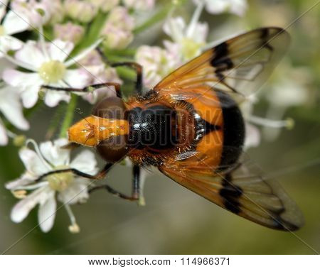 Volucella inflata hoverfly