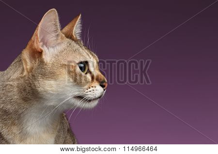 Closeup Singapura Cat Profile View On Purple