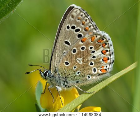 Adonis blue butterfly (Polyommatus bellargus) on vetch with wings closed