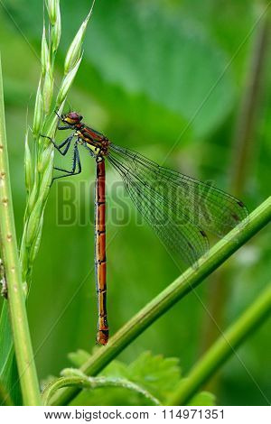 Large red damselfly (Pyrrhosoma nymphula) at rest