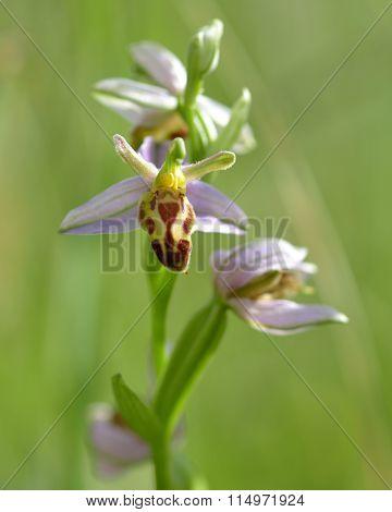 Bee orchid (Ophrys apifera var belgarum)