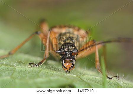 Stenocorus meridianus longhorn beetle