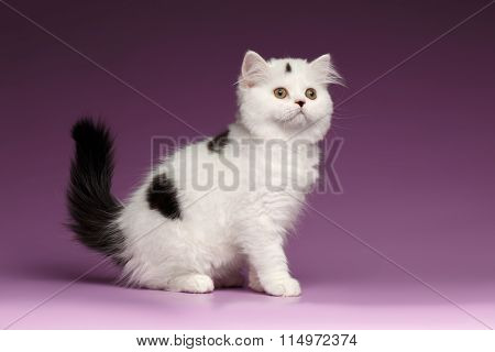 White Scottish Straight Kitten Sits And Looking Up On Purple