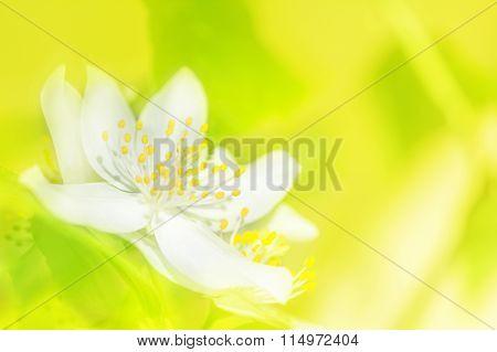 Jasmine Flower Blossom