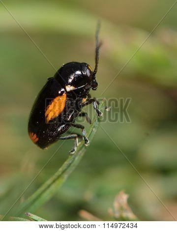 Cryptocephalus moraei beetle