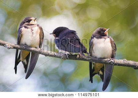 young swallows sitting on a branch
