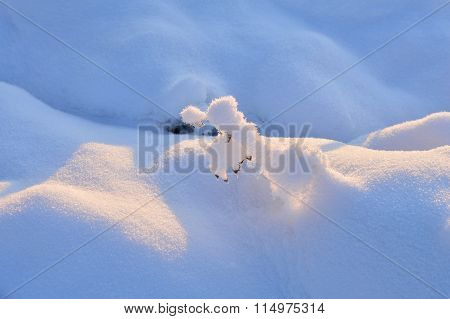 Frozen Wild Plant In The Winter Under The Snow-white Snow In The Sunlight