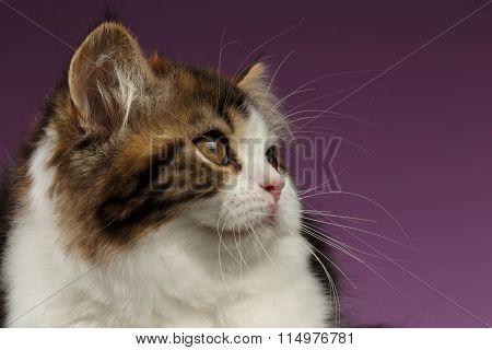 Closeup Portrait Of Tabby Scottish Straight Kitten On Purple