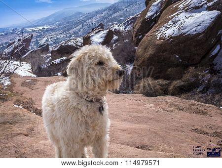 Labradoodle At Winter On The Rocks