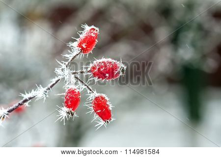 Berries With  Frost
