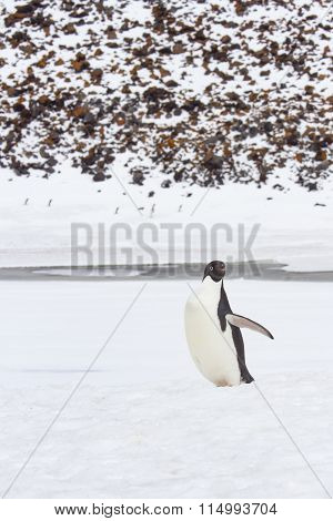 Adult Adelie Penguin