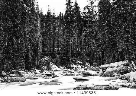 forest in the winter at Sequoia national park, USA in black and white